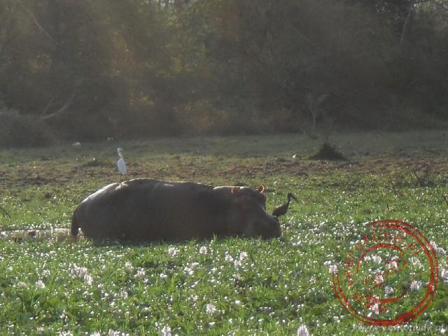 Een nijlpaard graast in de wetlands van Liwonde National Park