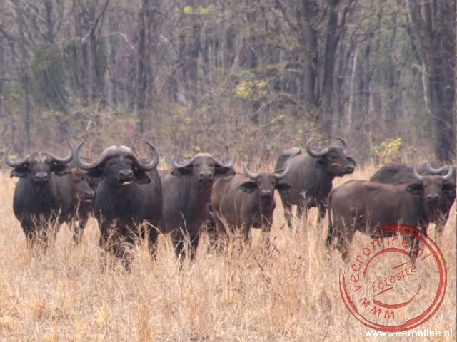 Tijdens de walksafari staan we oog in oog met een groep buffels in Liwonde National Park in Malawi