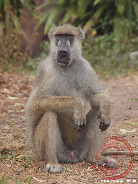 De baviaan Frankie bivakeert rond de campsite op zoek naar etenswaren