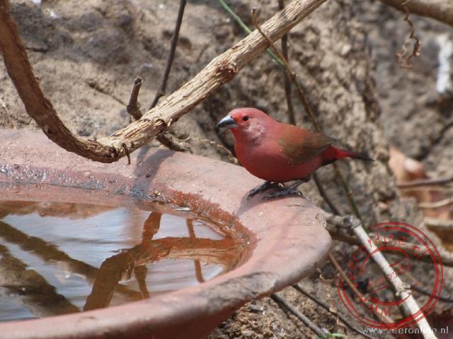 Een firefinch is een klein vogeltje van nog geen tien centimeter