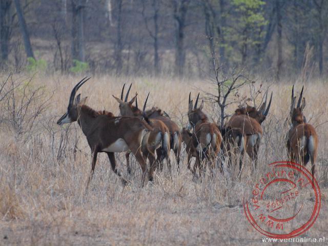 De Sabel Antilope is zeldzaam en komt alleen in deze omgeving van Afrika voor