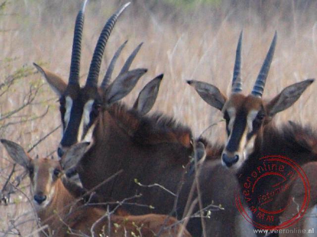 de sprekende koppen van de Sabel Antilopen in Liwonde National Park