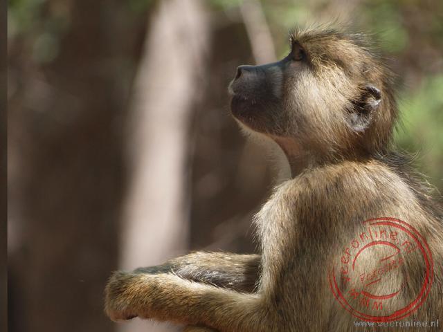 Een baviaan zoekt lekkers in de bomen