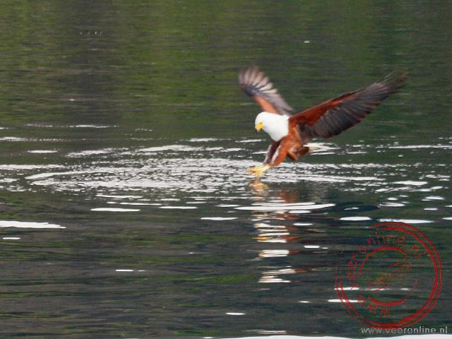 Een visarend, fish eagle, pikt een vis uit het water