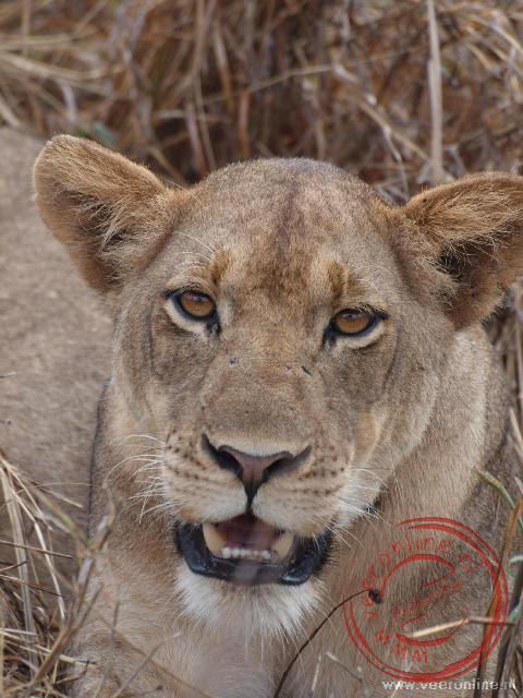 Een leeuwin ligt vlak naast de landrover en houdt alles goed in de gaten