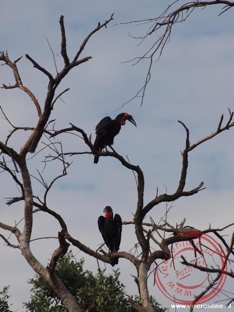 Een mannetje en een vrouwtjes Ground Hornbill in de boom