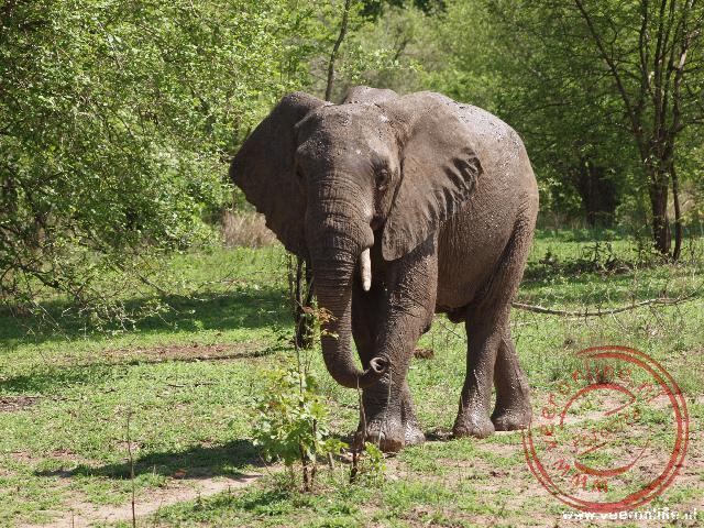 Een olifant komt aangewandeld en houdt ons goed in de gaten