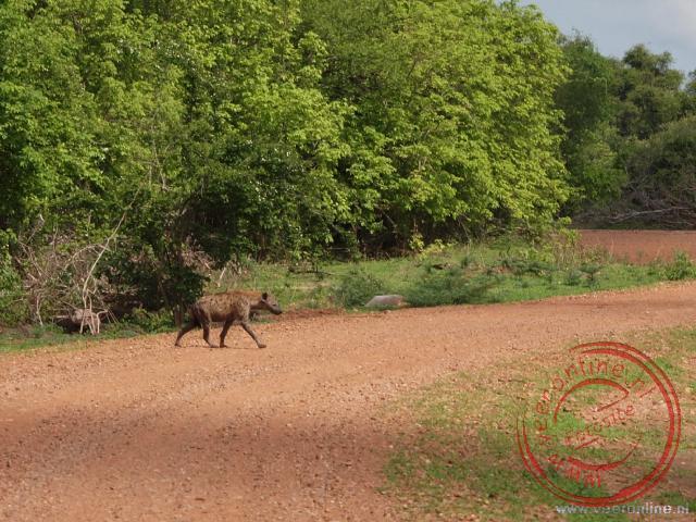 Een hyena steekt de weg over en zoekt snel een veilig heenkomen in een buis onder de weg
