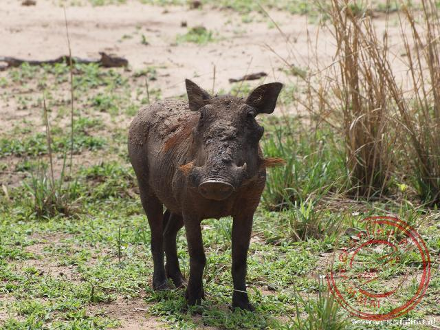 Een nog jonge Warthog. Zijn hoorntjes bij zijn neus zijn nog klein