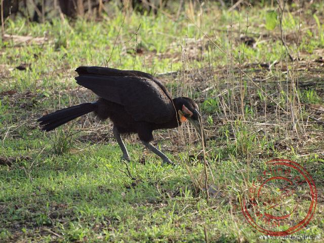 Een Southern Ground-hornbill