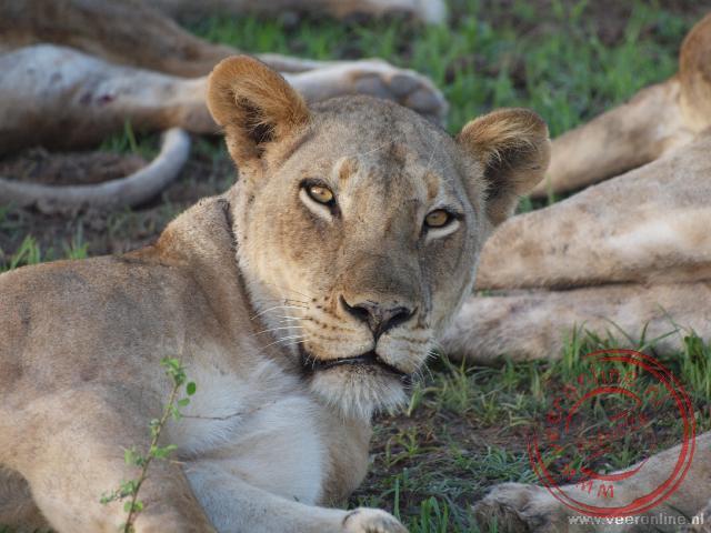 Een leeuwin kijkt verstoort op tijdens haar dutje