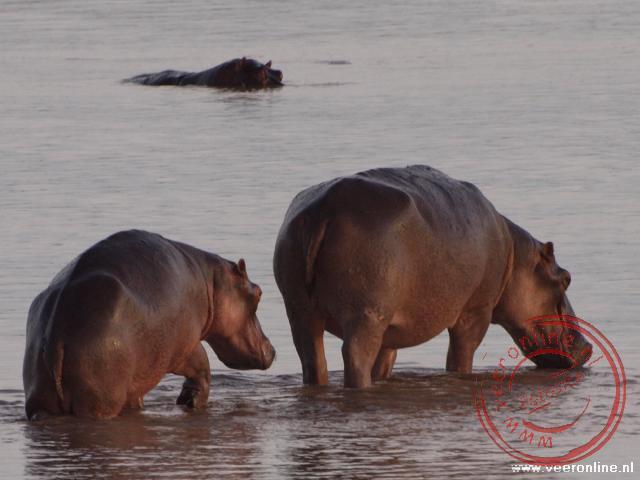 Nijlpaarden of Hippo's lopen door de rivier in South Luangwa National Park Zambia