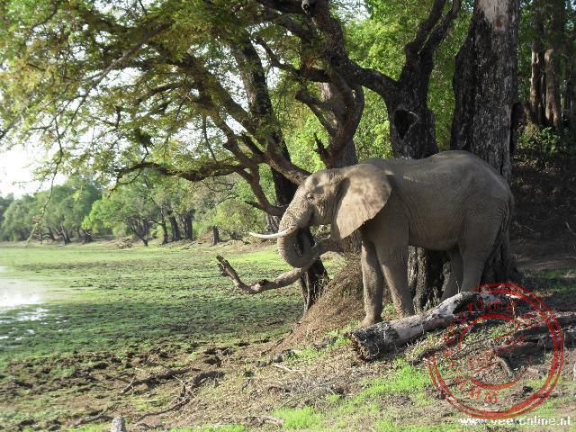 De olifant trekt de takken van de bomen om bladeren te eten