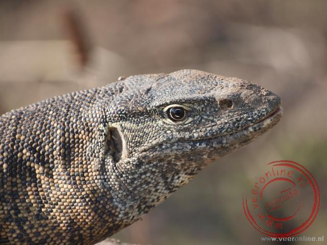 De kop van een nijlvaraan in National Park South Luangwa