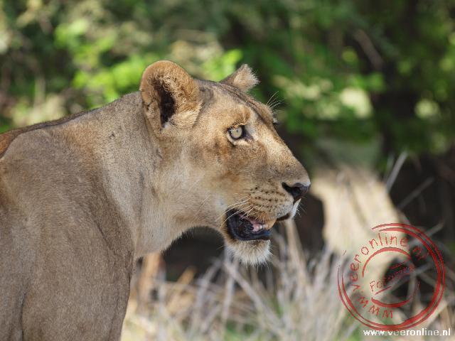Een leeuwin houdt de omgeving in de gaten