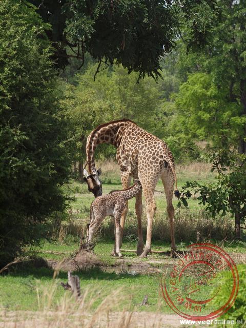 Een jonge giraffe drinkt bij zijn moeder