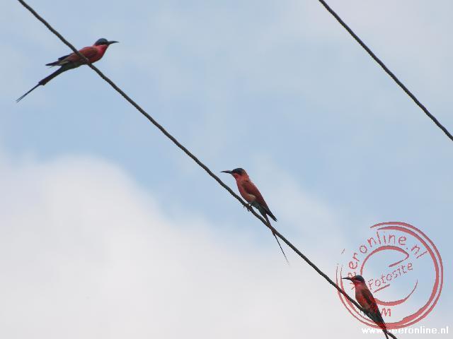 Enkele kleurrijke Carmine Bee-eaters zitten op de elektriciteitskabels