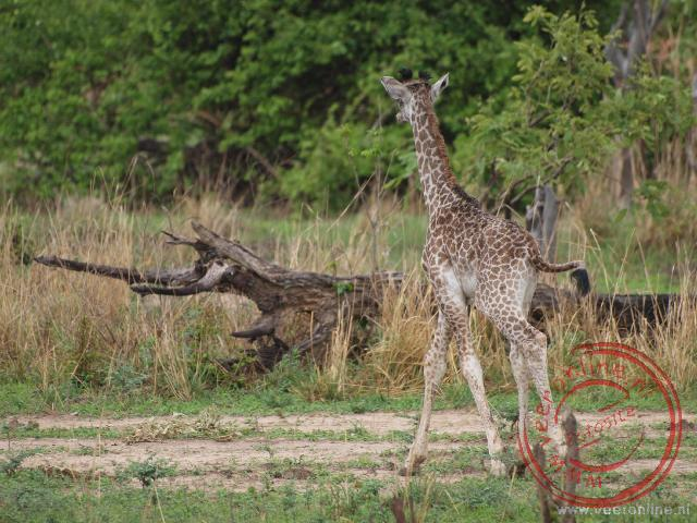 Een jonge giraffe in South Luangwa National Park
