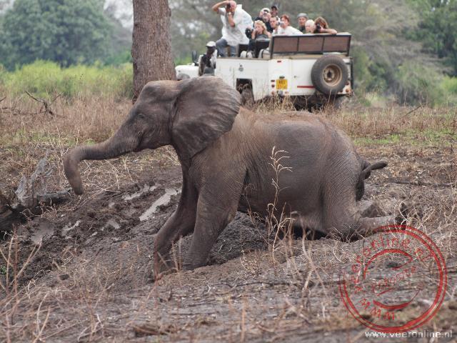 Door de flinke regenbij is het glad geworden. De olifanten laten zich door de achterpoten zakken en glijden de rivierhelling af.