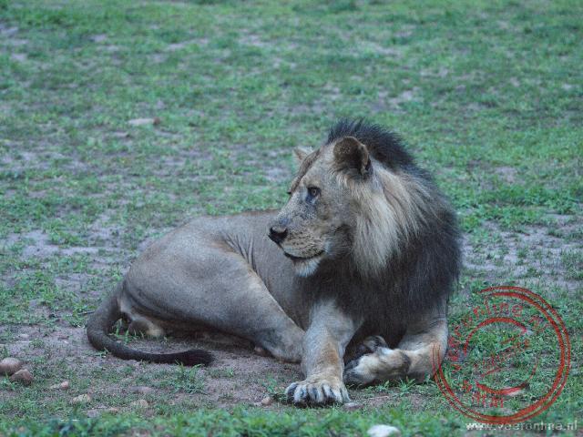Een mannetjes leeuw in de schemer