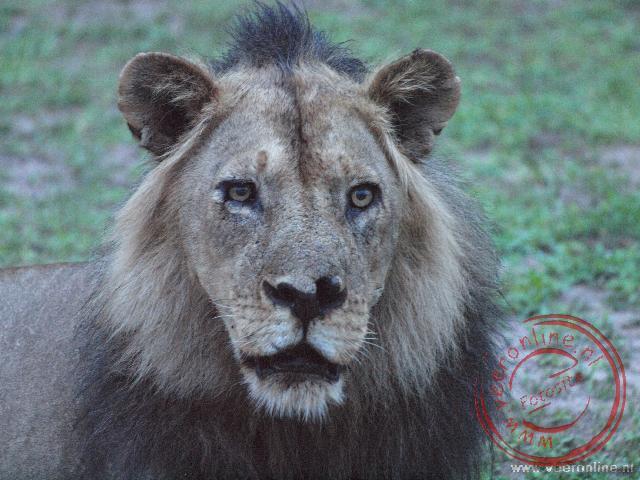 Een oude mannetjes leeuw in South Luangwa National Park Zambia