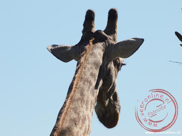 Een giraffe in Mosa-oa-Tunya National Park Livingstone Zambia