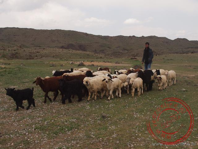 Een schaapsherder leidt zijn kudde weer naar huis