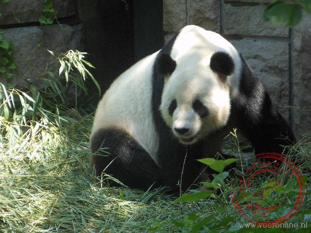 Een panda in de dierentuin van Beijing