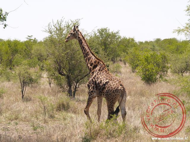Een giraffe in het Kruger Park