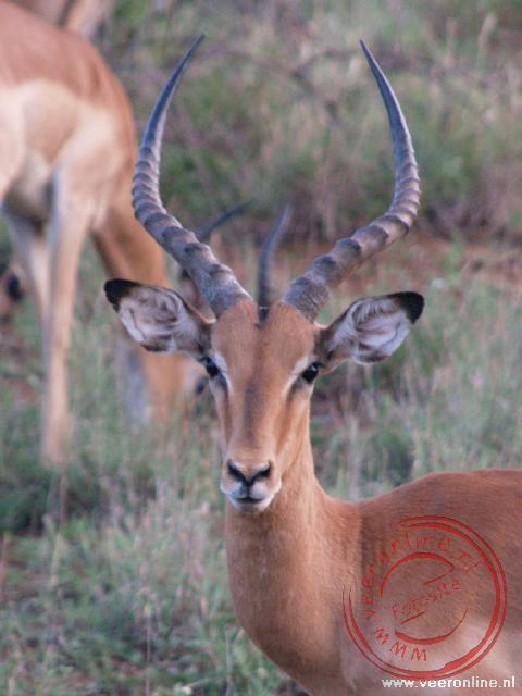 Een Impala poseert voor de foto