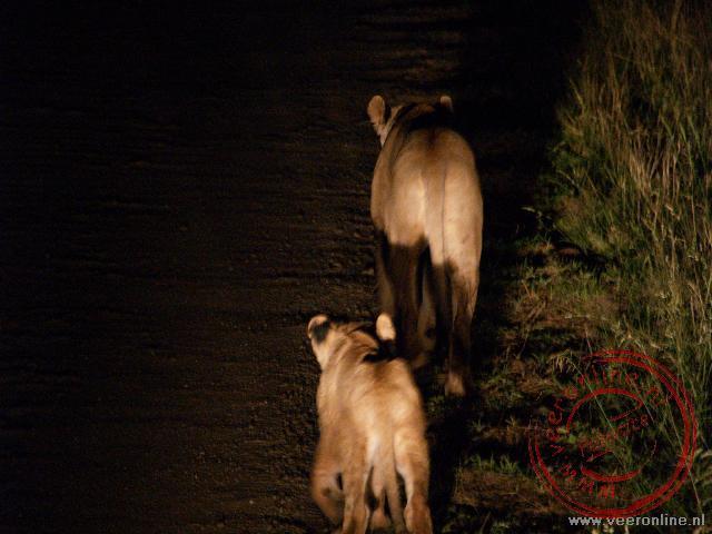 Twee leeuwinnen wandelen over de weg