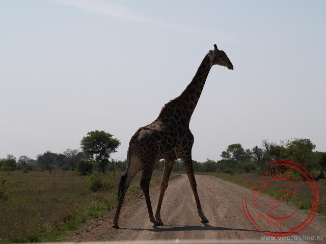 Van dichtbij zie je pas goed hoe groot een giraffe is