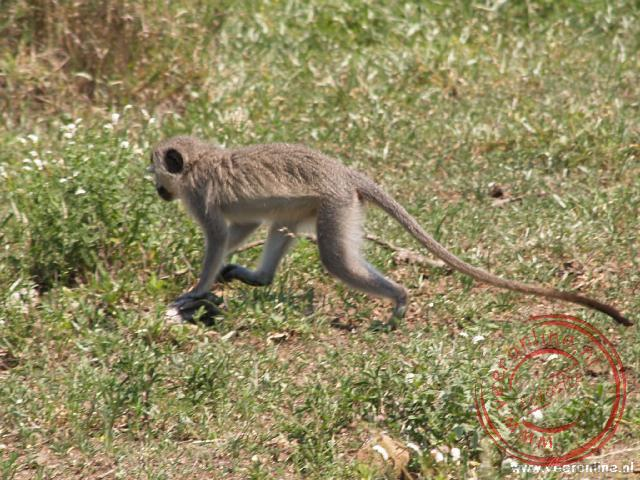 Een blauwaap in het Kruger National Parc