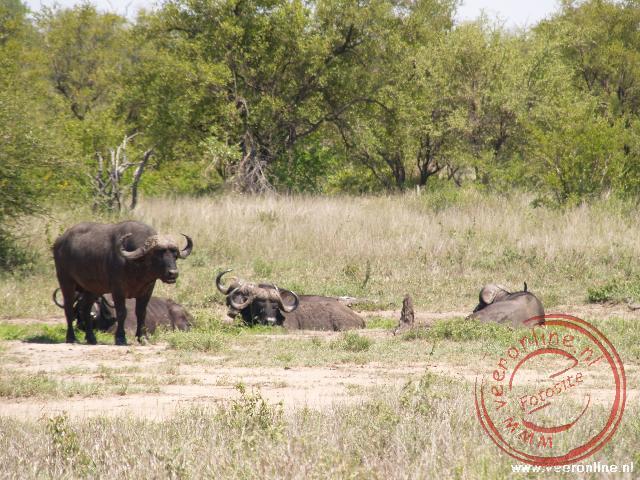 Buffels in het Kruger Park