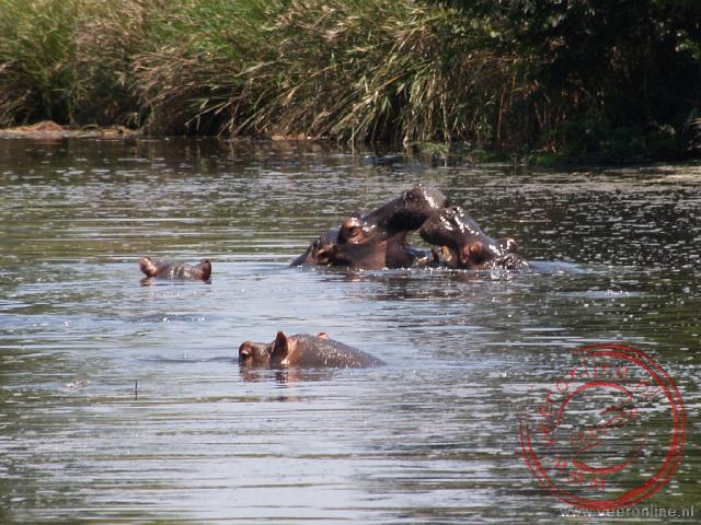 Stoeiende nijlpaarden
