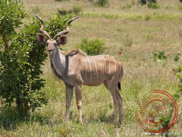 Een mannetjes Kudu