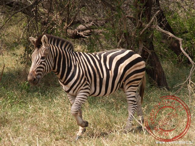 Een zebra