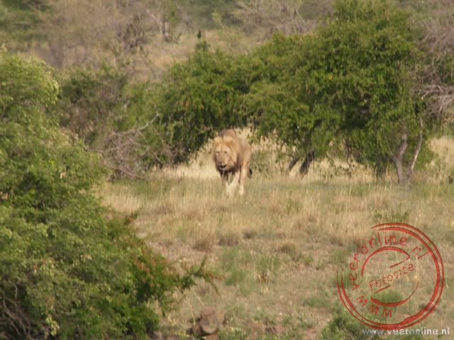 De Leeuw komt rustig aangewandeld