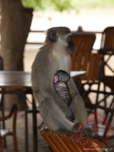 Een aap met haar kind struint de tafels af op zoek naar eten