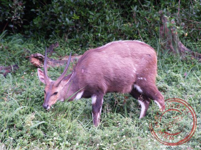 Een bosbok in het Greater St Lucia Wetland Park