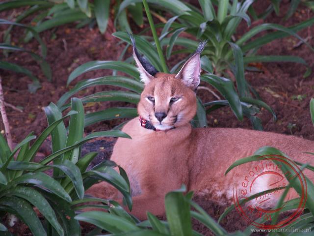 Een tamme lynx