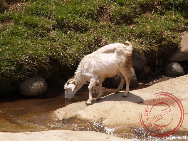 Een geit drinkt onderweg wat water