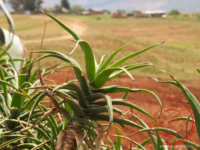De Aloë vera plant in Lesotho