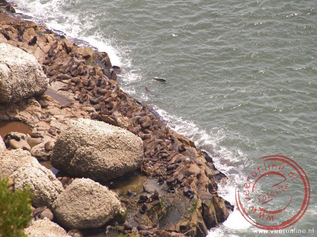 Een groep zeehonden op de rotsen van het schiereiland Robberg