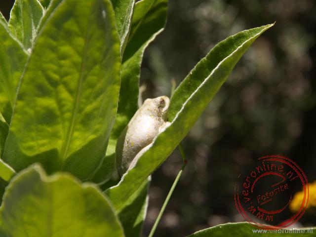 Een witte kikker in het Featherbed Nature Reserve