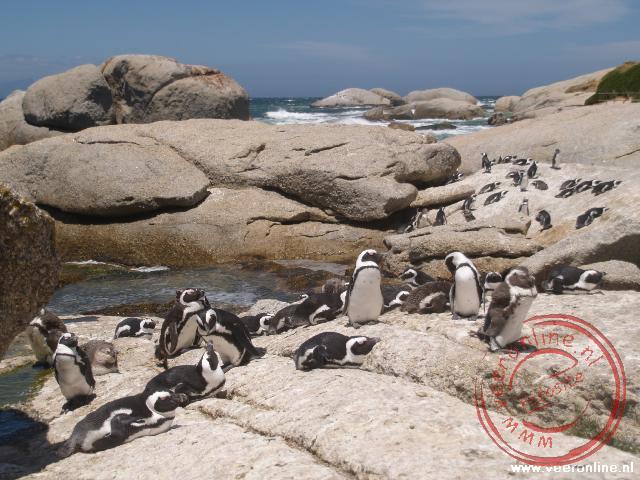 Een kolonië pinguïns in Zuid Afrika